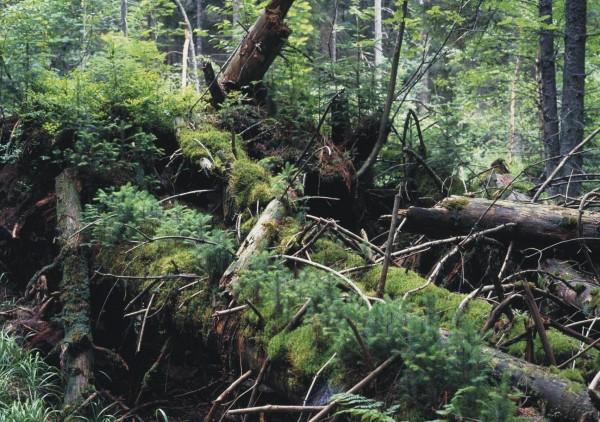 """""""Es sollte ein Waldgebiet geschafft werden, in dem die Bäume hunderte Jahre alt werden. Leider ist das aber nicht der Fall."""" Foto: Archiv"""