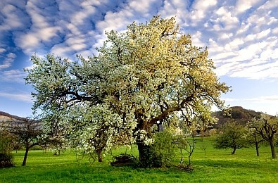 imposanter blühender Birnbaum