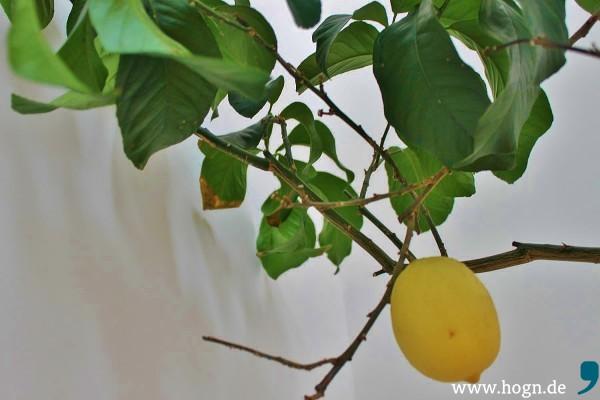 _Zitrone