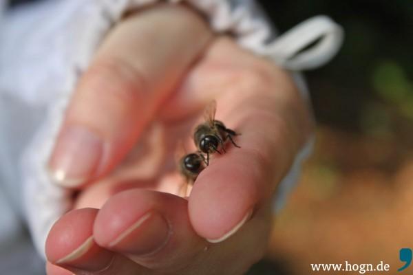 Drohnen können nicht stechen. Die männlichen Bienen haben einen dickeren und dunkleren Hinterleib als die Arbeiterinnen.