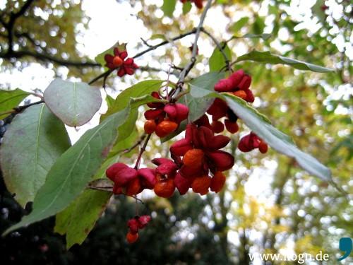 Das Pfaffenhütchen hat seinen Namen von der Form der Früchte, die im Herbst in den Sträuchern leuchten.