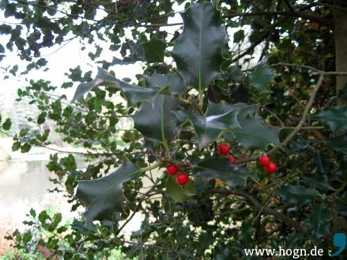 Eine echte Weihnachtspflanze ist die Stechpalme (Ilex). 20 bis 30 Beeren sind die tödliche Dosis.