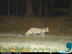 013b_Wildkatzennachweis_Nationalpark