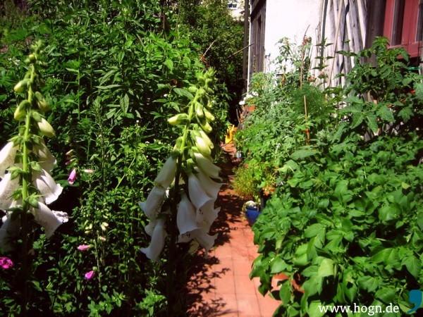 Friedlich vereint Links die Wilden - rechts die Zahmen - wenn sie genug Sonne haben, gedeihen Tomaten bestens im Kübel