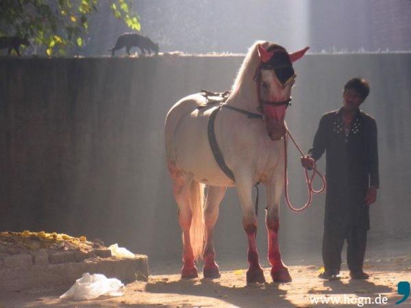 Jedes-Jahr-zu-Aschura-erwacht-das-Pferd-von-Husain-erneut-zum-Leben